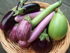 eggplant harvest in basket