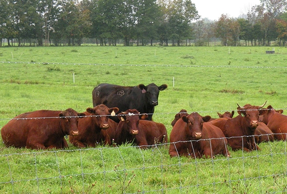 Grass-fed Steer in field