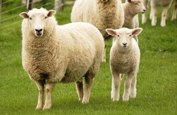 Cute sheep and lamb