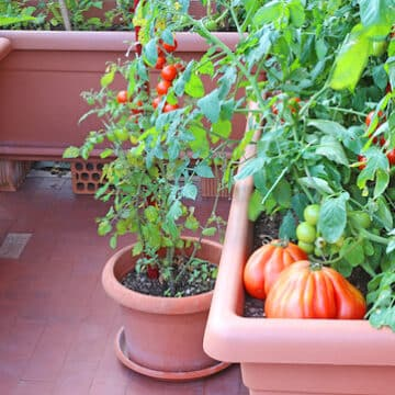 Tomatoes on a terrace garden