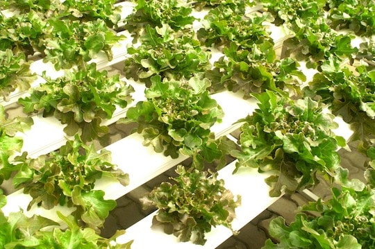 hydroponic farm of lettuces